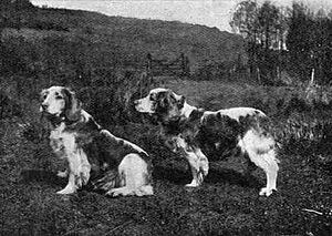 Welsh Springer Spaniel - Ch. Corrin, a show dog owned by Mr A.T. Williams, photographed in two poses in 1903.