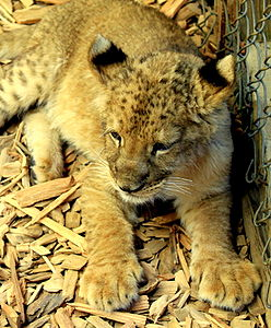 West Coast Game Park Safari - Bella the lion - Bandon Oregon.jpg