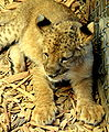 West Coast Game Park Safari - Bella the lion - Bandon Oregon.jpg