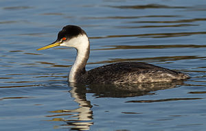 Western Grebe (Aechmophorus occidentalis) IV.jpg