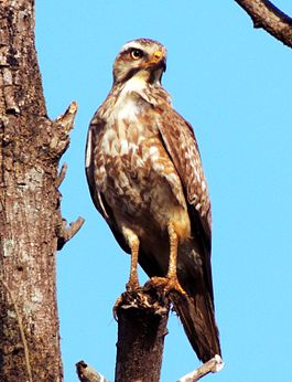 White-Eyed Buzzard Photograph By Shantanu Kuveskar.jpg