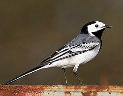 Resultado de imagen de paxaro lavandeira