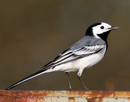 The white wagtail is the national bird of Latvia. White-Wagtail.jpg