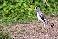 White-crowned Lapwing (7281408152).jpg