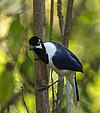 White-tailed Jay.jpg