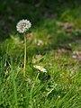 White Flowering Japanese Dandelion シロバナタンポポ (252045425).jpeg