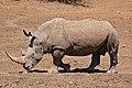 White Rhino (Ceratotherium simum) coming to drink ... (32273525153).jpg