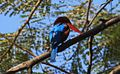 White Throated Kingfisher. (14144869713).jpg
