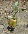 White mangrove - seedling (5608235913).jpg
