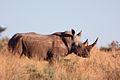 White rhino ceratotherium simum.jpg