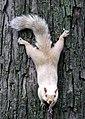White squirrel (2847447825).jpg