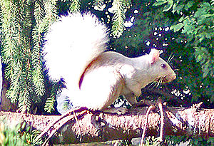 Olney, Illinois - A white squirrel in Olney