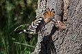 Wiedehopf beim Fütterungsanflug im Naturschutzgebiet Glockenbuckel von Viernheim.jpg