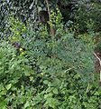Wijnruit plant Ruta graveolens.jpg
