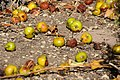 Wildäpfel in Hausgarten.jpg