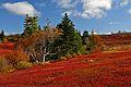 Wild blueberry fields in the fall near Parrsboro.jpg