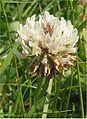Witte klaver bloem (1) Trifolium repens.jpg