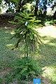 Wollemia nobilis - Mildred E. Mathias Botanical Garden - University of California, Los Angeles - DSC02815.jpg