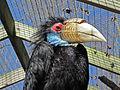 Wreathed Hornbill female SMTC.jpg