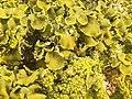 Xanthoria calcicola 57150475.jpg
