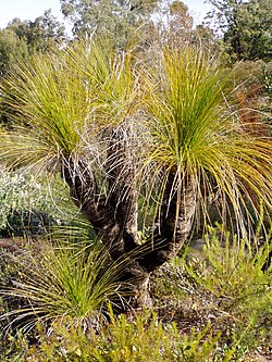 Xanthorrhoea johnsonii 01.jpg