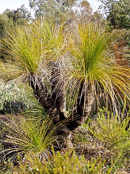 Xanthorrhoea johnsonii, Australia