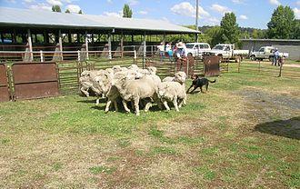 Huntaway - A Huntaway competing in a Yard Dog Trial