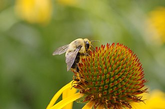 Echinacea - A bee on an Echinacea paradoxa head (inflorescence)