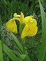 Yellow Flag, Iris pseudoacorus - geograph.org.uk - 189016.jpg
