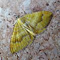 Yellow Shell. Camptogramma bilineata - Flickr - gailhampshire.jpg
