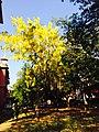 Yellow flowers in TNAU.jpg