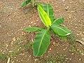 Young Banana plant of Kallidaikurichi.jpg