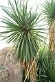 Yucca brevifolia 0zz.jpg