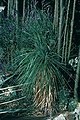 Yucca linearifolia in cultur Mannheim F. Hochstätter 15 Jahre altes Exemplar B.jpg