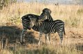 Zebra and Foal, North West Province (6252731345).jpg