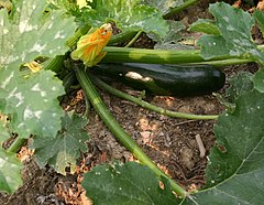 Zucchini fruit and spent flower on plant