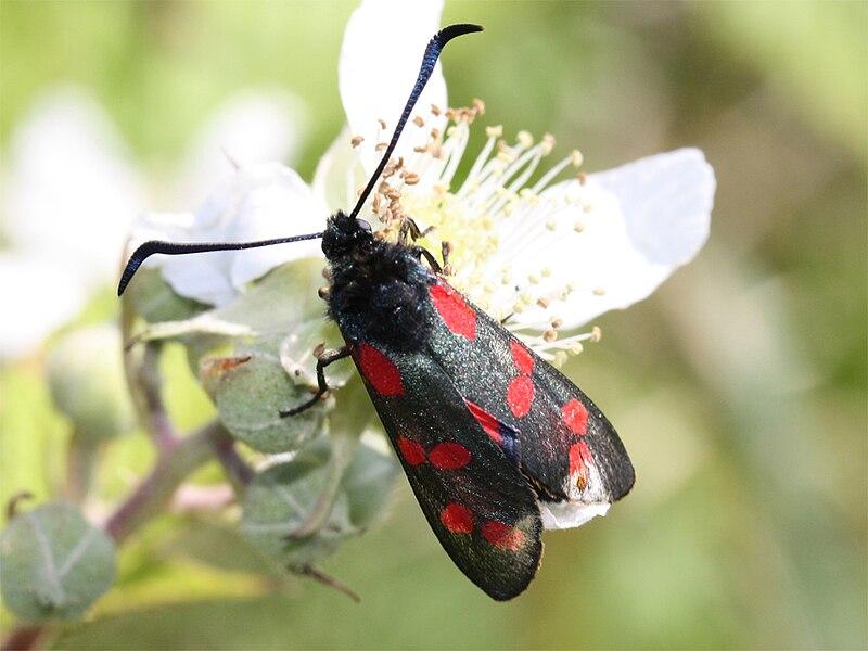 File:Zygaena.filipendulae(six-spot-burnet).2.jpg