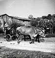 """""""Koš"""" za vodo, za živino, Hruševlje 1953.jpg"""