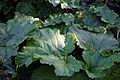 'Rheum x hybridum' Rhubarb Victoria Capel Manor Gardens Enfield London England 1.jpg