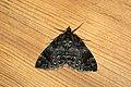 (1764) Common Marbled Carpet (Chloroclysta truncata) (3609893079).jpg