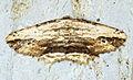 (1936) Waved Umber (Menophra abruptaria) (13985583324).jpg