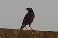 (Acridotheres tristis) Common myna spotted at Madhurawada 01.JPG
