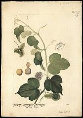 (Passiflora factidae, Linn)