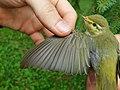 Šumski zviždak, krilo (Phylloscopus sibilatrix) Wood Warbler, wing.jpg