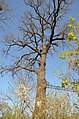 Віковий дуб біля з.п. Рубежівська.jpg