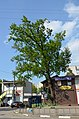 Вікові дерева дуба звичайного, Обухів 02.jpg