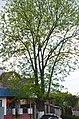Горіх чорний. Вулиця Драй-Хмари, 22. Фото 1.jpg