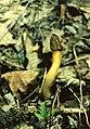 Гриб веселка в НПП Гомольшанские леса.jpg