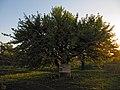 Дерево культурної груші, Катеринівка 03.jpg