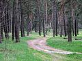 Дороги в сосновом бору (SW) - panoramio.jpg